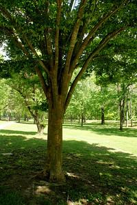 Zelkova tree along Lemon Park walkway in Pratt