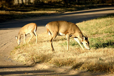 Deer along road