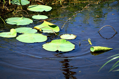 Lily pads in water - northwest Sedgwick County
