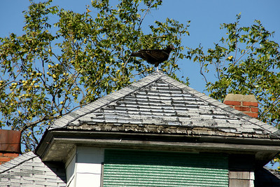 Vulture on roof of abandoned house