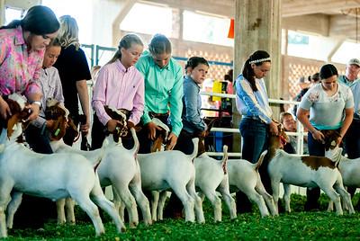 ks_state_fair_2019_goats-14