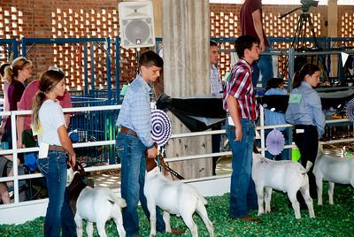 ks_state_fair_2019_goats-7