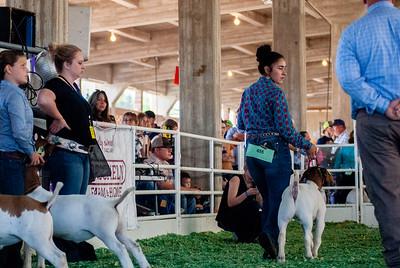 ks_state_fair_2019_goats-22