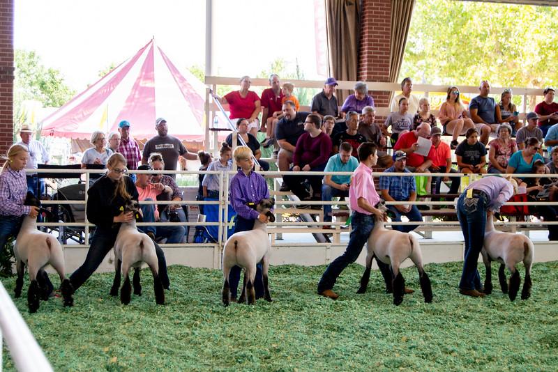 ks_state_fair_2019_lambs-13