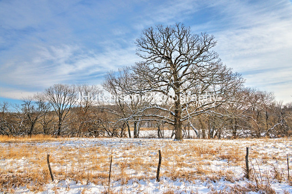 Snow Adorns the Mighty Oak
