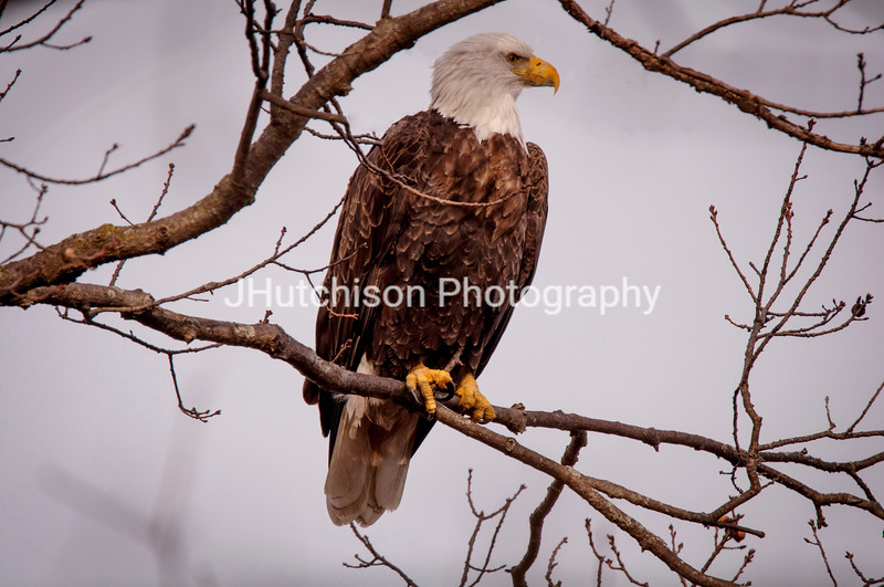 BI0008 - Eagle in Profile