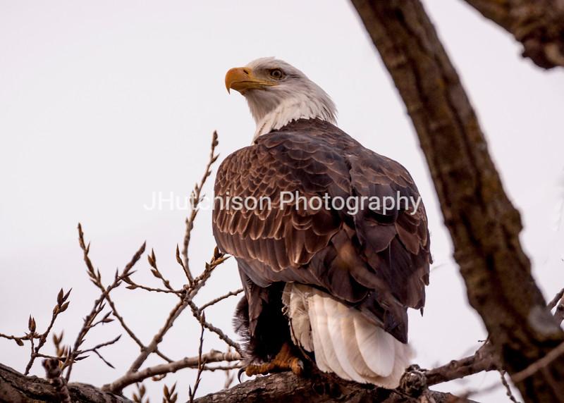 BI0007 - Eagle Looking Over His Shoulder