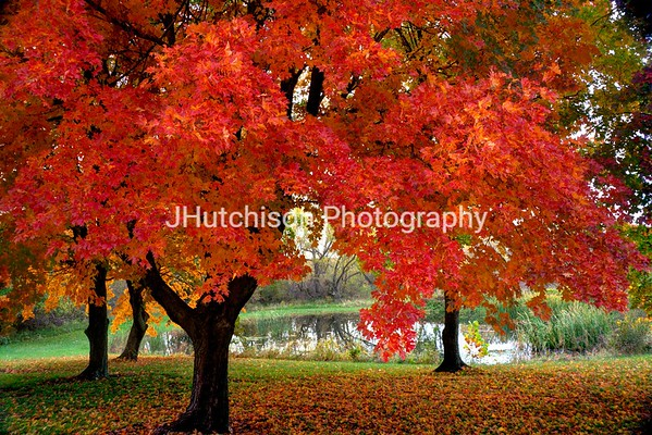 Colorful Autumn Maples