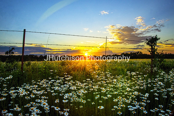 FR0019 - Sunset Daisies