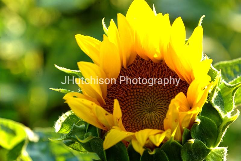 SUN0011 - Sunflower Bud Opening