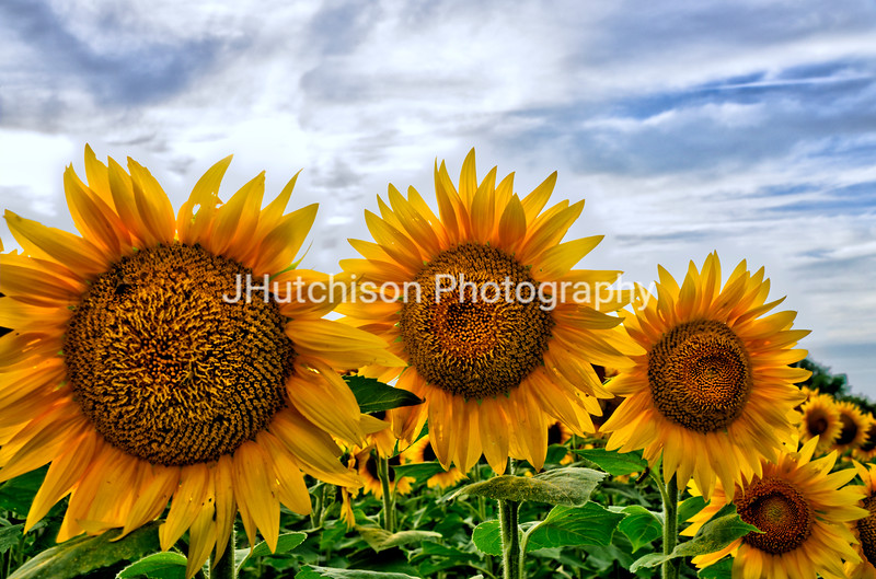 SUN0027 - Sunflowers in a Row
