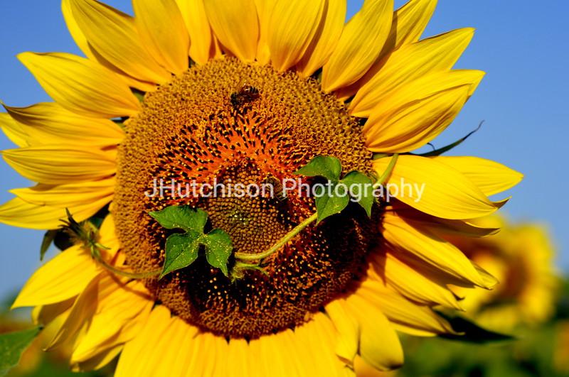 SUN0012 - Sunflower Head With Vine