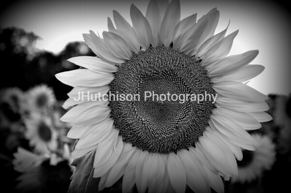 SUN0009 - Grinter's Sunflower Closeup-001