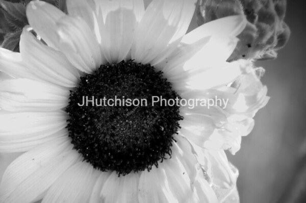 SUN0002 - Kansas Sunflower B&W