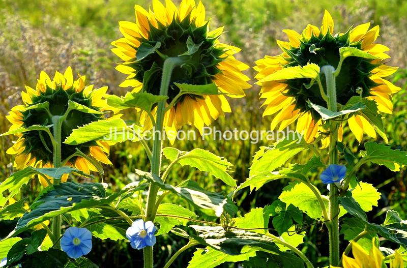 SUN0010 - Sunflowers & Morning Glorys