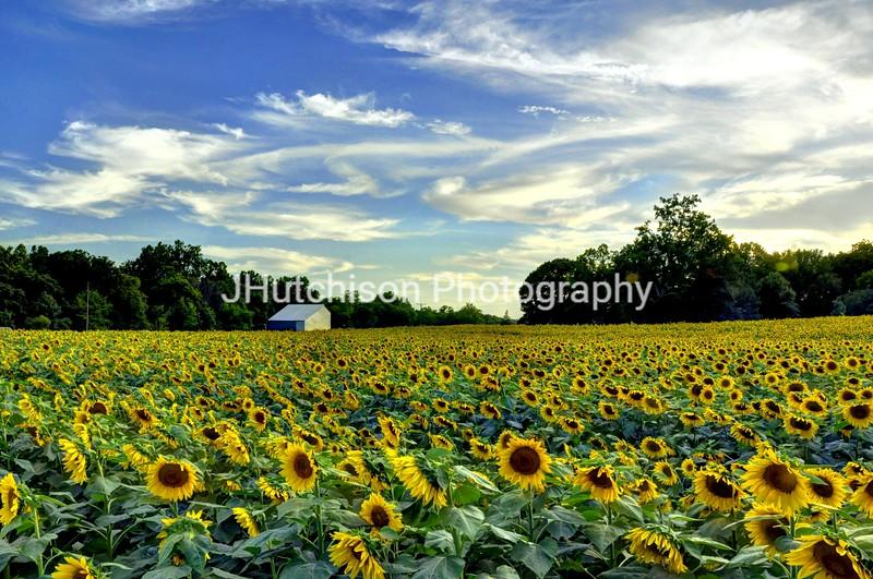 SUN0004 - Grinter's Sunflower Farm