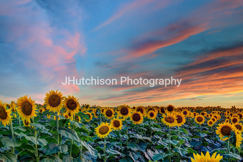 SUN0023 - Peaceful Sunflower Sunset