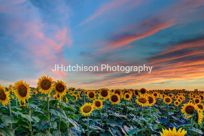 SUN0023 - Peaceful Sunflower Sunset