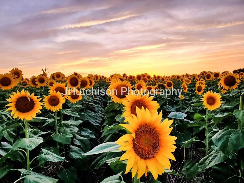 SUN0020 - Golden Sunflower Sunset