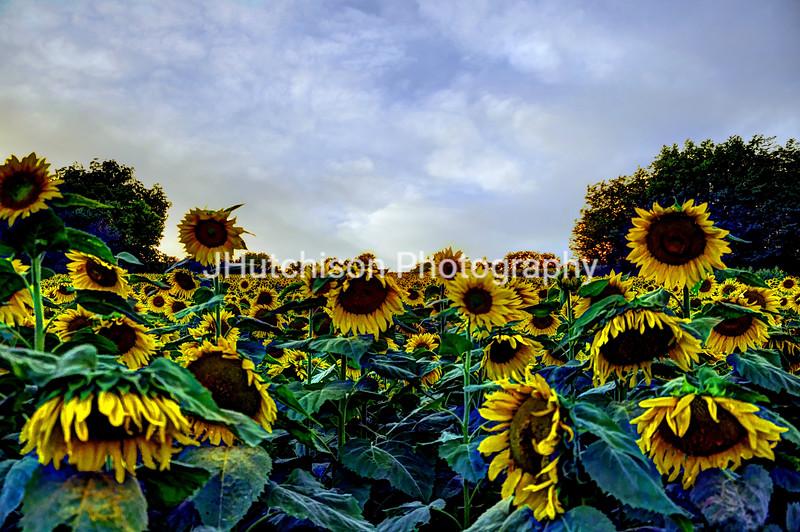 SUN0007 - Kansas Sunflowers