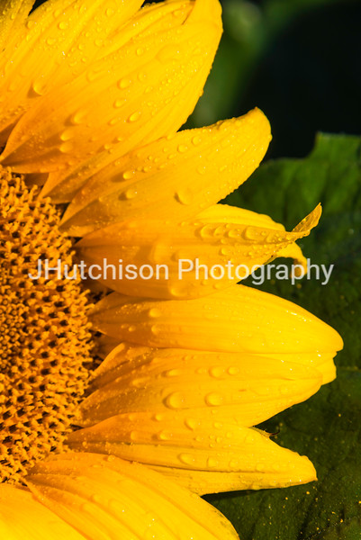 SUN0013 - Early Morning Dew