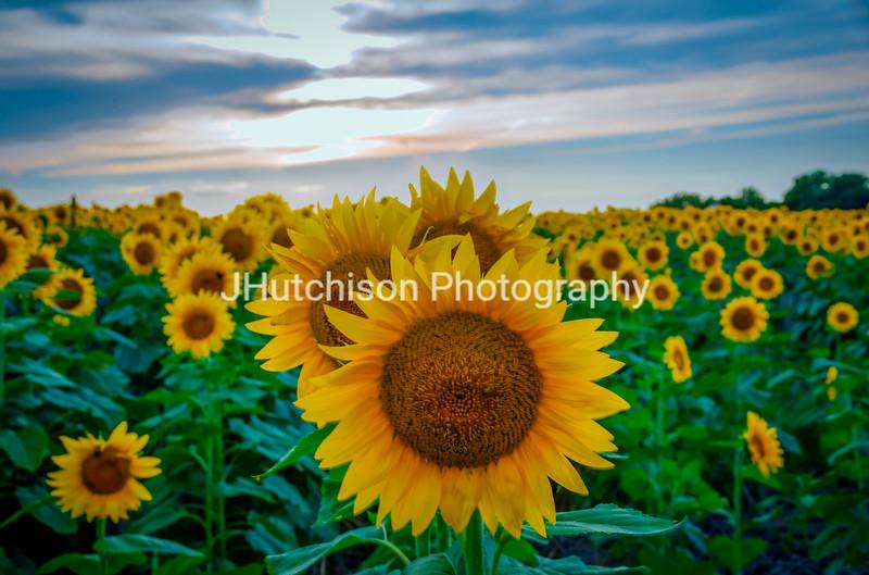 SUN0029 - Sunflower Peekaboo