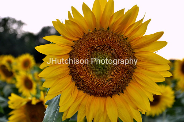 SUN0008 - Grinter's Sunflower Closeup
