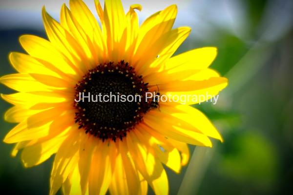 1195 - Roadside Sunflower & Friend