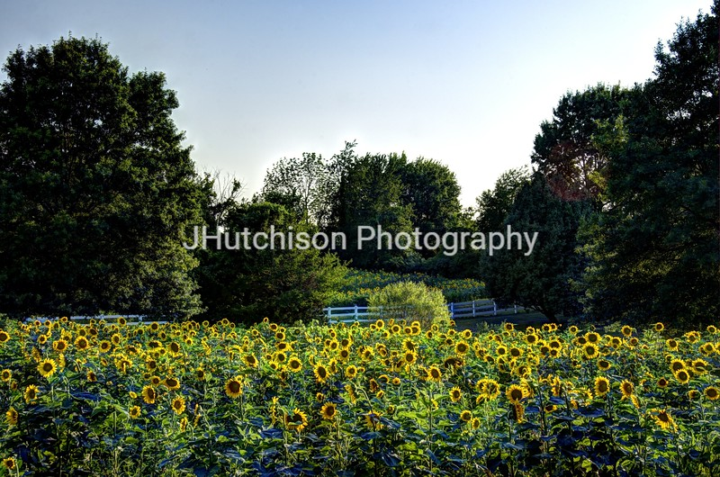 1271 - Sunflowers and White Fence