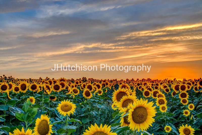 SUN0024 - Field of Gold at Sunset