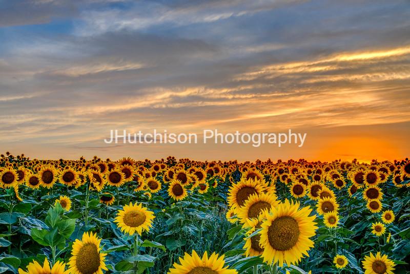 SUN0024 - Field of Gold at Sunset