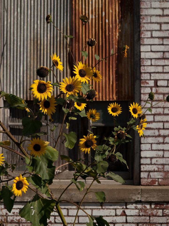 Galvanized sunflower
