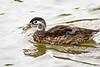 Wood Duck, Female
