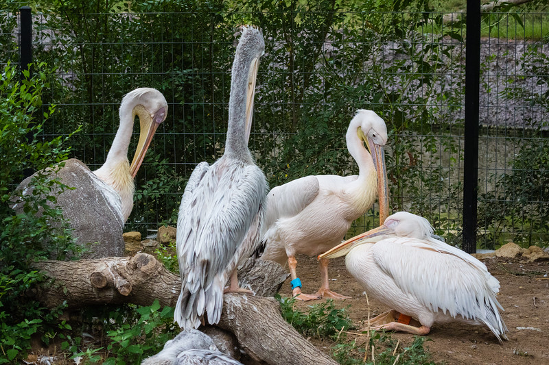 White and Pink Backed Pelicans