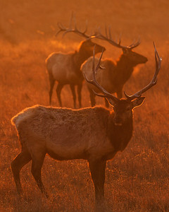 Elk In Airglow