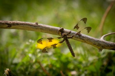 Dragonfly at Cedar Bluff