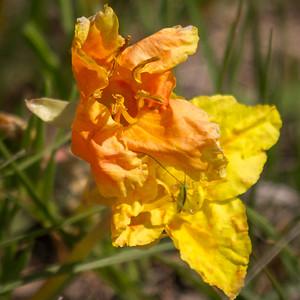 Wildflower at Cedar Bluff