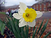 <b>Daffodil </b> If you are not careful, you'll see those bugs moving.