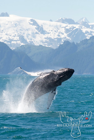Humpback Whale, Kenai Fjords National Park