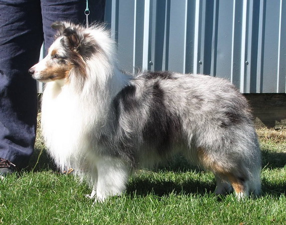 "INT CH/UKC GRCH Karashome Silver Sorcerer<br /> ""Richie""<br /> 2 1/2 years"