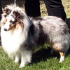 "INT CH/UKC GRCH Karashome Silver Sorcerer ""Richie"" 2 1/2 years"