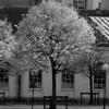 Höstträd i svart/vitt