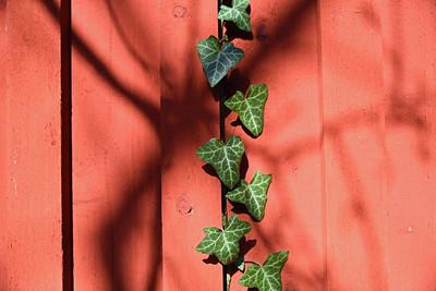 Murgröna på rött plank
