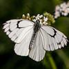 Butterfly at Sanasar, Kashmir, India
