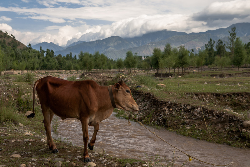 Kolam Chinar, Kashmir, India