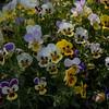 Pansy flowers inside Shalimar Bagh, Kashmir, India