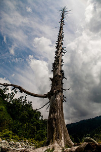 A leafless pine tree stands tall as dark clouds gather over Chatpal a virgin region of Kashmir.