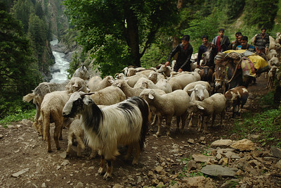 A family of shepherds travels up a hill with all their luggage laden on a horse, taking their flock of sheep and goats to graze in the greener pastures in Kashmir.