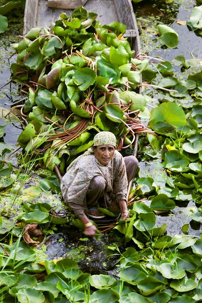 Gathering Lotus - Kashmir, India