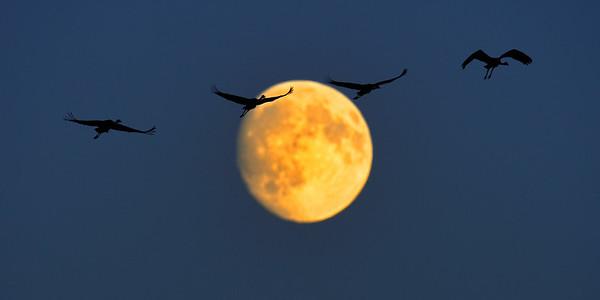 żurawie w księżycowej panoramie